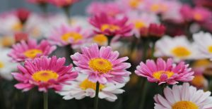 A photo of pink and white flowers
